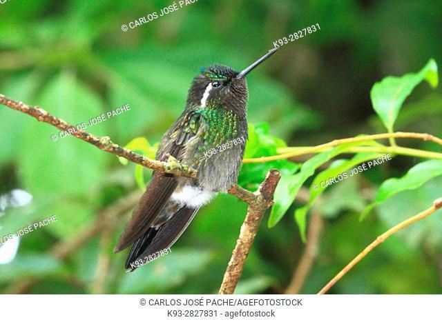 Colibrí Montañes Gorgimorado (Lampornis calolaemus) en la Reserva biologica de Monteverde, Costa Rica