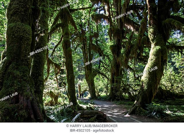 Footpath through draped with moss trees in the Hoh Rainforest, near Forks, Olympic National Park, Washington, USA