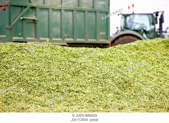 Close up of harvested maize heap with tractor trailer in background