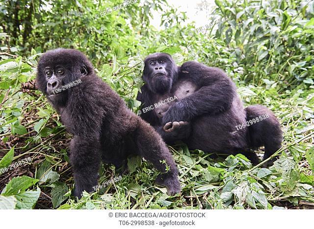 Mountain gorillas (Gorilla beringei beringei) female and young from the family group named Kabirizi, Virunga National Park, North Kivu