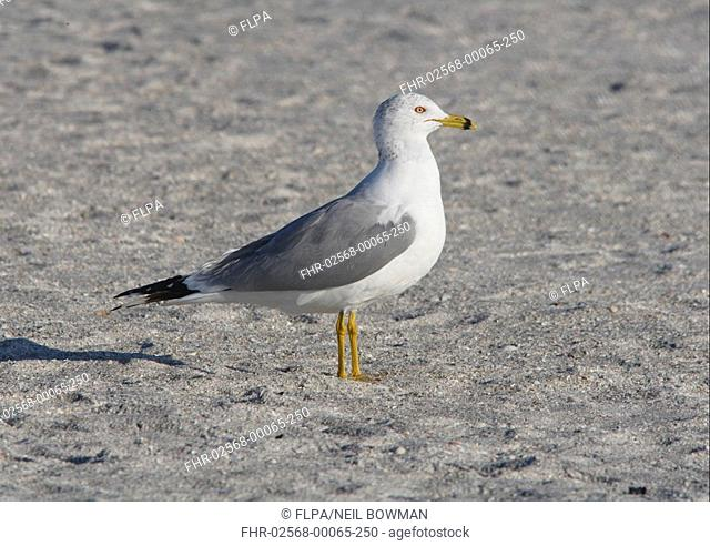 Ring-billed Gull Larus delawarensis adult, standing on beach, Sanibel Island, Florida, U S A , february