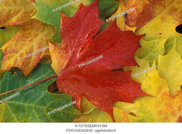 maple leaf, leaves, Vermont, fall, close-up, A red maple leaf lays on top of a cluster of green and yellow maple leaves