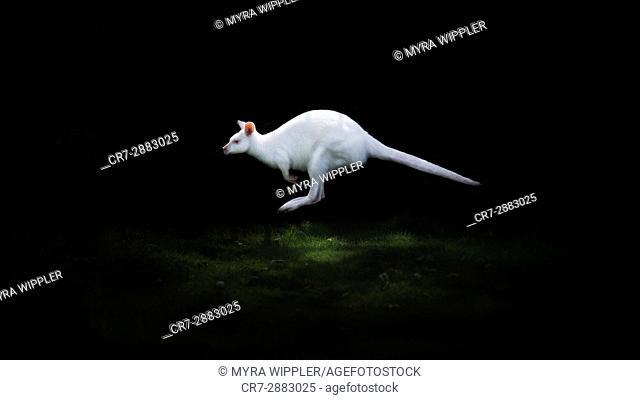 Albino wallibi