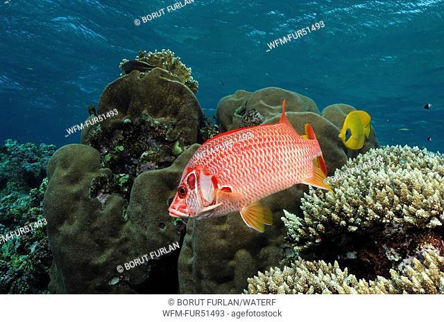 Longjawed Squirrelfish, Sargocentron spiniferum, Elphinstone Reef, Red Sea, Egypt