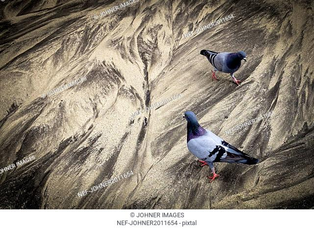 Pigeons walking on dry mud
