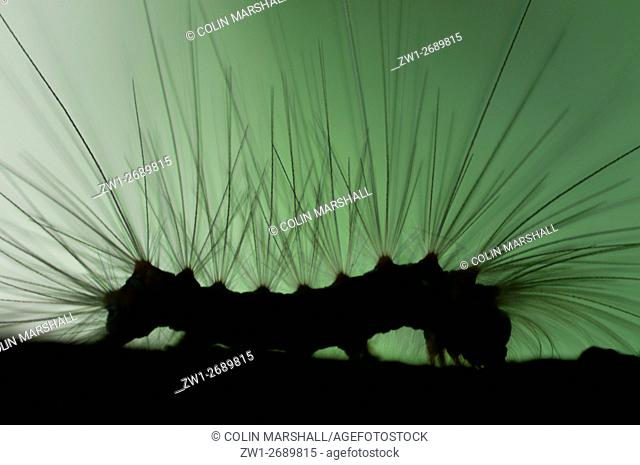 Caterpillar (Lepidoptera order) silhouette with long hairs for protection, Klungkung, Bali, Indonesia, Klunkung, Bali, Indonesia