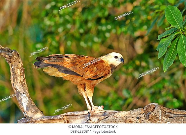 South America,Brazil,Mato Grosso,Pantanal area,Black-collared Hawk (Busarellus nigricollis),eating a fish