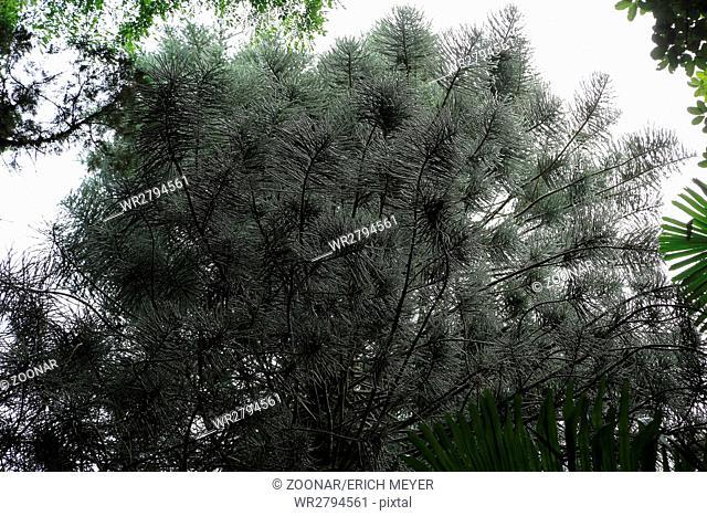 Mauritius, Araucaria columnaris, Cook pine in the Botanic Garden