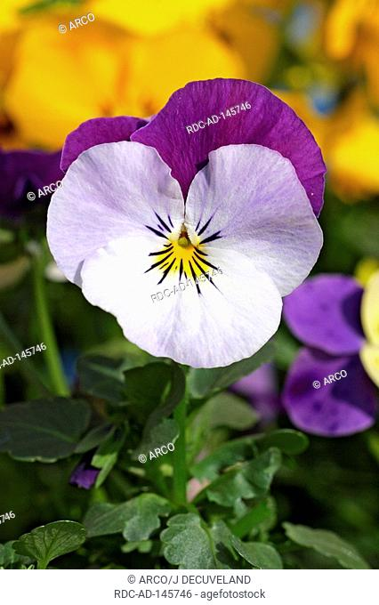 Horned Pansy Viola cornuta hybride