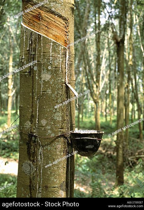 Rubber trees, Malaysia