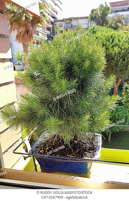 Pinus halepensis (Aleppo Pine). The Aleppo Pine is native to the Mediterranean region, growing from sea level to about 200 meter