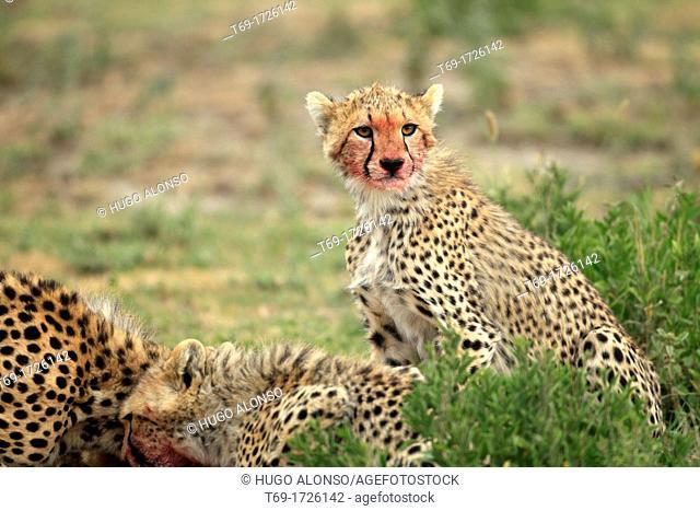 Cheetah. Acinonyx jubatus
