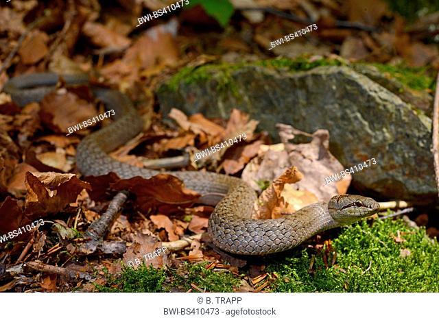 smooth snake (Coronella austriaca), smooth snake winding through autumn foliage, Germany, Bavaria