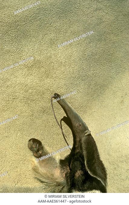 Giant Anteater (Myrmecophaga jubata) San Diego Zoo