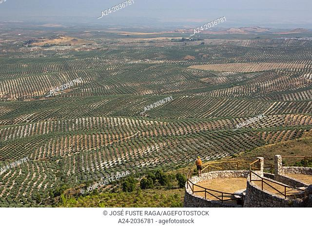 Spain , Andalucia Region, Jaen Province, Olive trees fields near Ubeda City