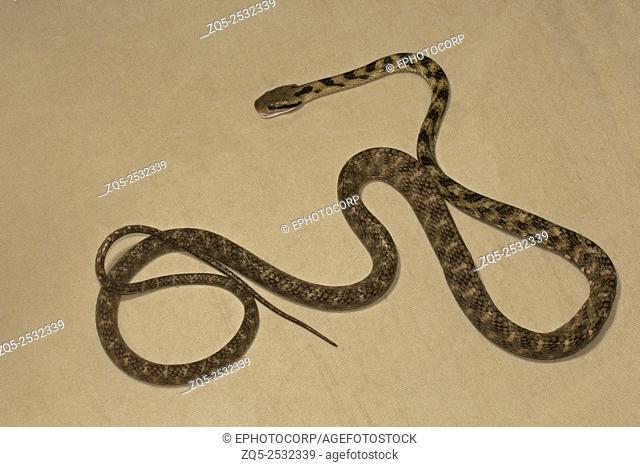 Cat snake, Boiga sp, Colubridae, Manu,Tripura, India