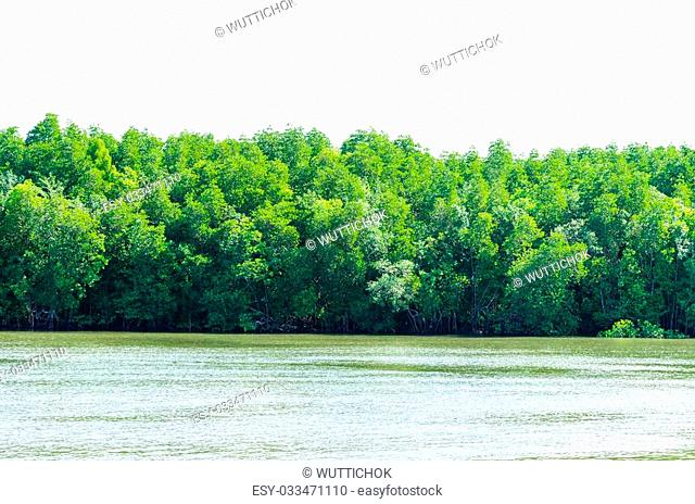 Nature of Mangrove forest beside the riverside at Thailand