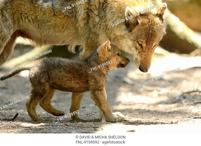 Gray wolf puppy with its mother