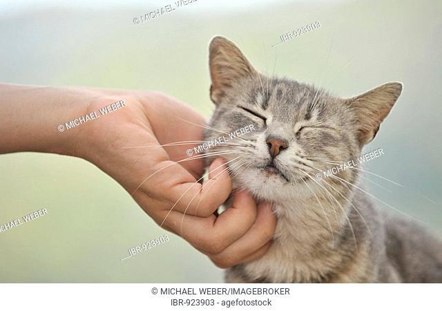 Hand stroking young gray tabby cat, cat enjoying it