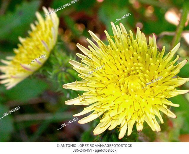 Smooth Sow-Thistle (Sonchus oleraceus)