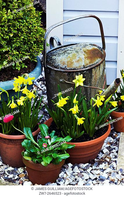 Weathered vintage metal watering can with Daffodils variety Tete et tete and Spring bedding plant Bellis perennis in terracotta plant pots