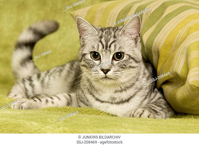 Domestic cat. Tabby adult lying on a couch. Germany