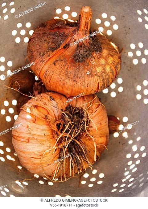 Onions in drainer