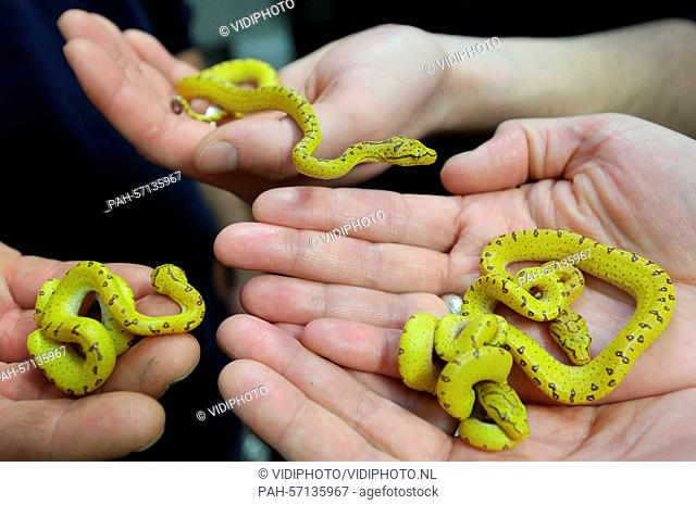 Burgers' Zoo in the Dutch city Arnhem is overjoyed with the birth of four bright yellow, green tree pythons. The last python crawled Monday 30-3-2015 out of its...