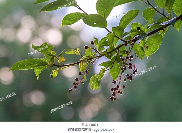 European bird cherry (Prunus padus, Padus avium), ripe fruits on a branch with raindrops, Germany, Bavaria