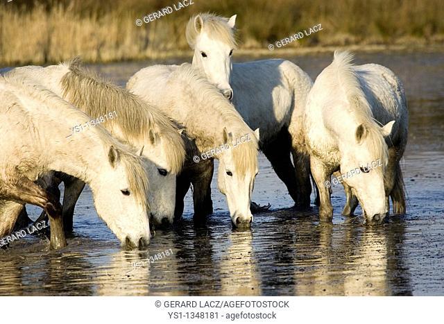 CAMARGUE HORSE, HERD DRINKING IN SWAMP, SAINTES MARIE DE LA MER IN SOUTH OF FRANCE