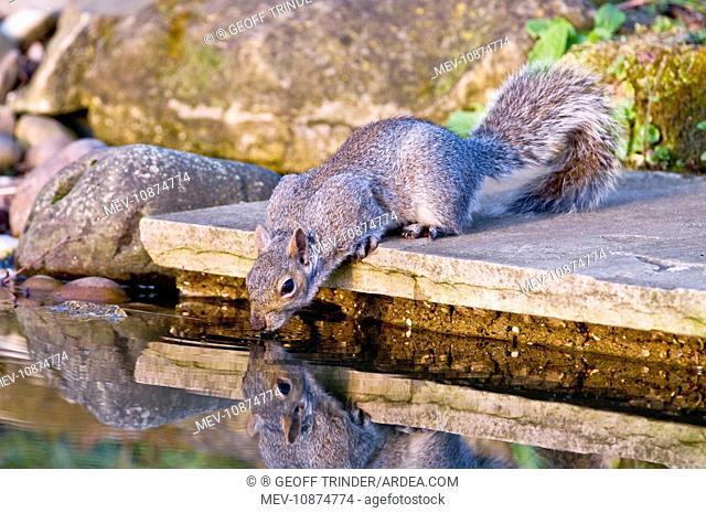 Grey Squirrel - drinking at garden pond (Sciurus carolinensis). Lincolnshire - UK