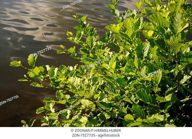 Alnus glutinosa, Schwarzerle, Black alder