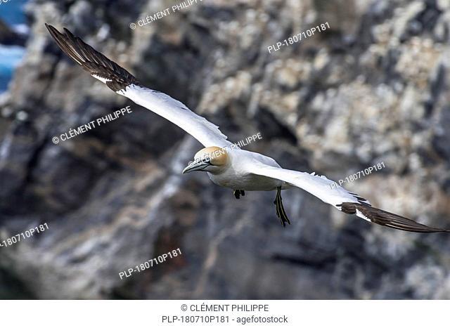 Northern gannet (Morus bassanus) in flight soaring along sea cliff at seabird breeding colony in spring, Scotland, UK