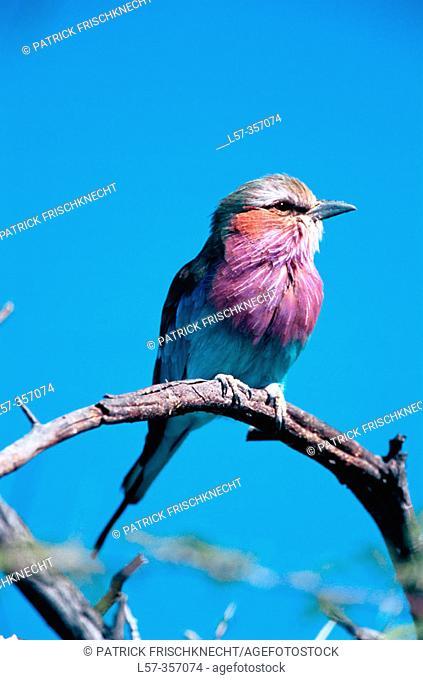 Lilac-breasted Roller (Coracias caudata). Etosha National Park. Namibia