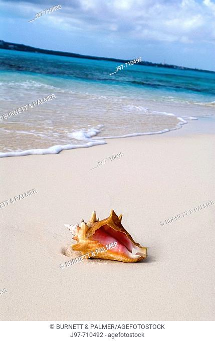 A young Queen Conch Shell washed up on a deserted beach off Lochabar Beach, Long Island, Bahamas, Atlantic Ocean