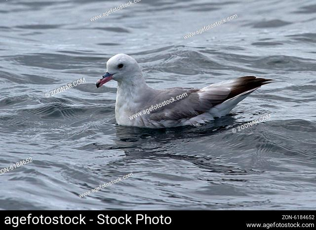 Antarctic fulmars that sits on the surface of the ocean in Antarctica