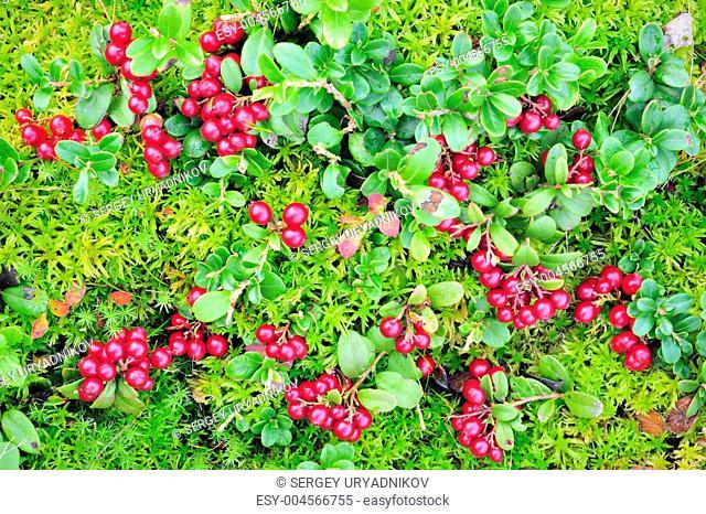 Cowberry carpet