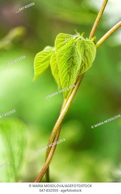 Green Bean Vines Intertwined. Phaseolus vulgaris