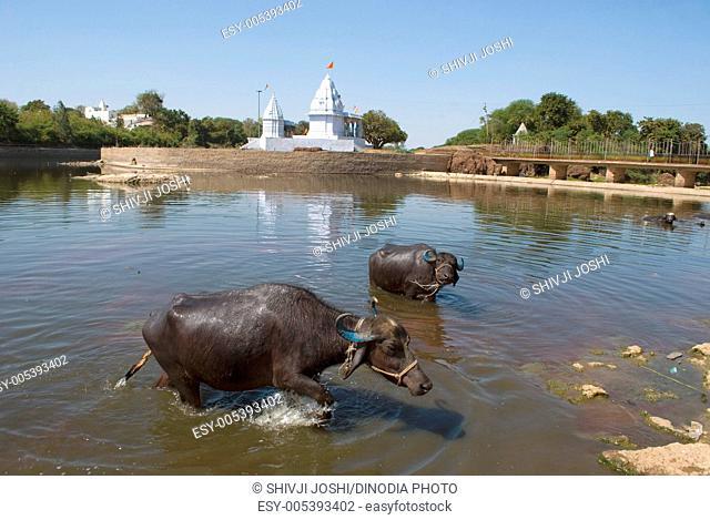 Buffaloes in betwa river , Vidisha , Madhya Pradesh , India
