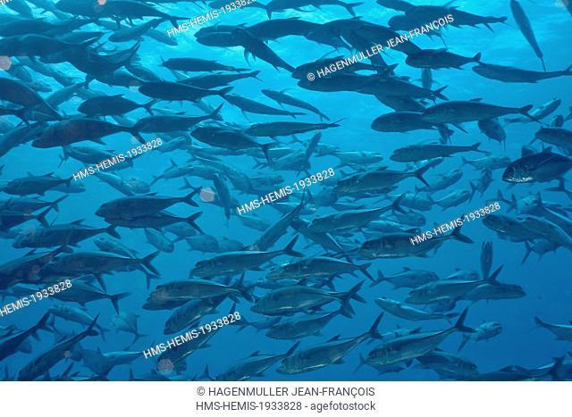 Philippines, Visayas, Cebu, skipjack tuna (Katsuwonus pelamis) in the Sulu sea