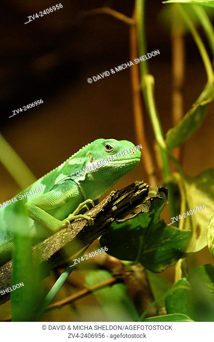 Close-up of a Fiji banded iguana (Brachylophus fasciatus) in a terrarium