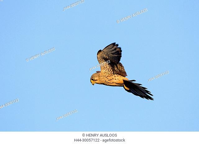 Kestrel, flying (Falco tinnunculus), stationary flight, France