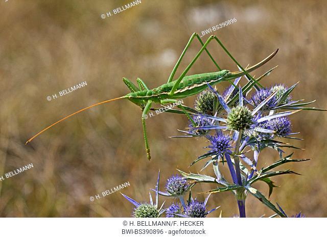 Predatory bush cricket, Predatory bush-cricket, Spiked Magician (Saga pedo), female on an Eryngium
