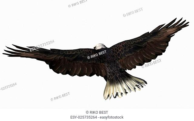 bald eagle in flight isolated on white background
