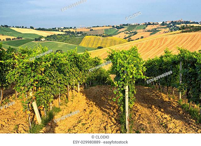 Country landscape in Marches (Italy) at summer: vineyard