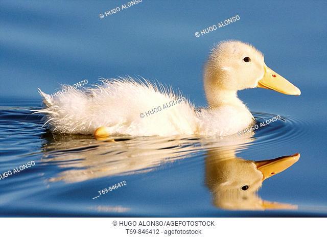 Litle duck
