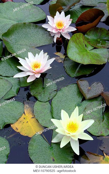 Waterlily - flowering plant in garden pond (Nymphaea Hybrid)