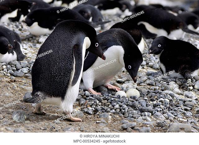 Adelie Penguin (Pygoscelis adeliae) pair trading incubation duties at pebble nest, South Georgia. Sequence 9 of 10