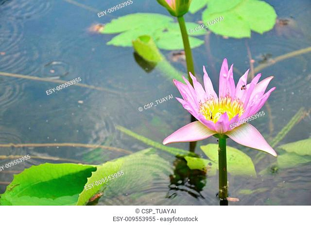 bee working on lotus in garden pond