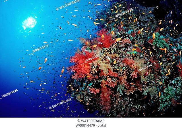 Coloured Coral Reef, Brother Islands, Red Sea, Egypt